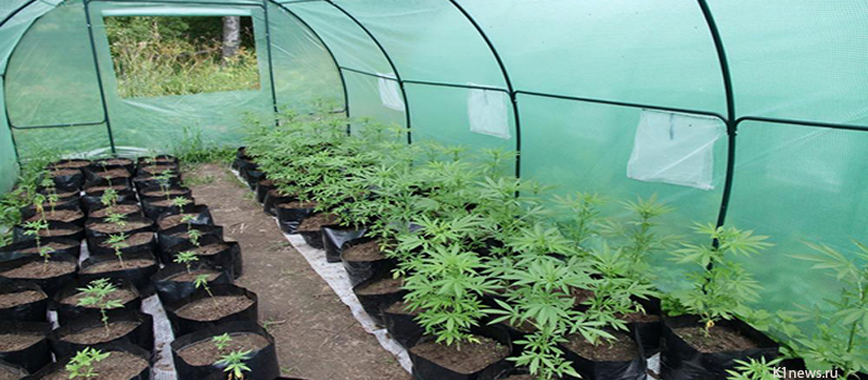 марихуана конопля выращивание